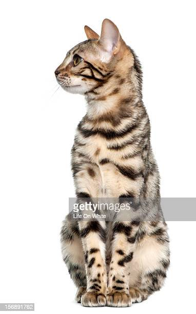 Bengal kitten sitting and looking left
