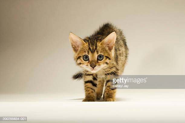 Bengal kitten with hair standing on end, close-up