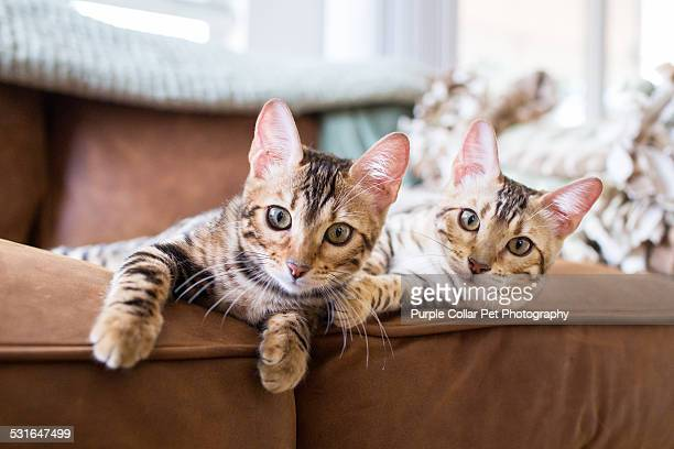 Bengal kittens on leather sofa indoors
