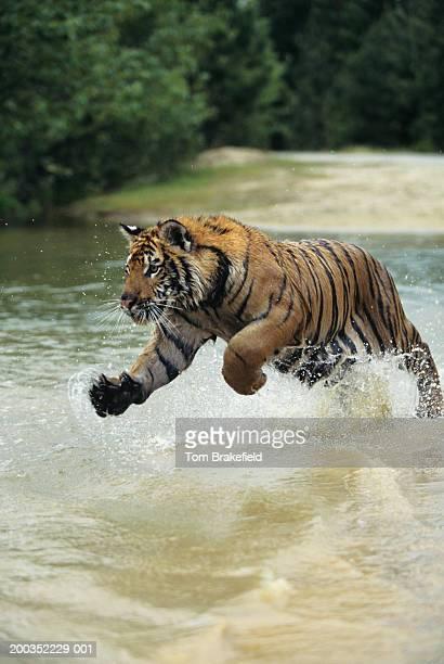 Bengal tiger (Panthera tigris tigris) charging through water