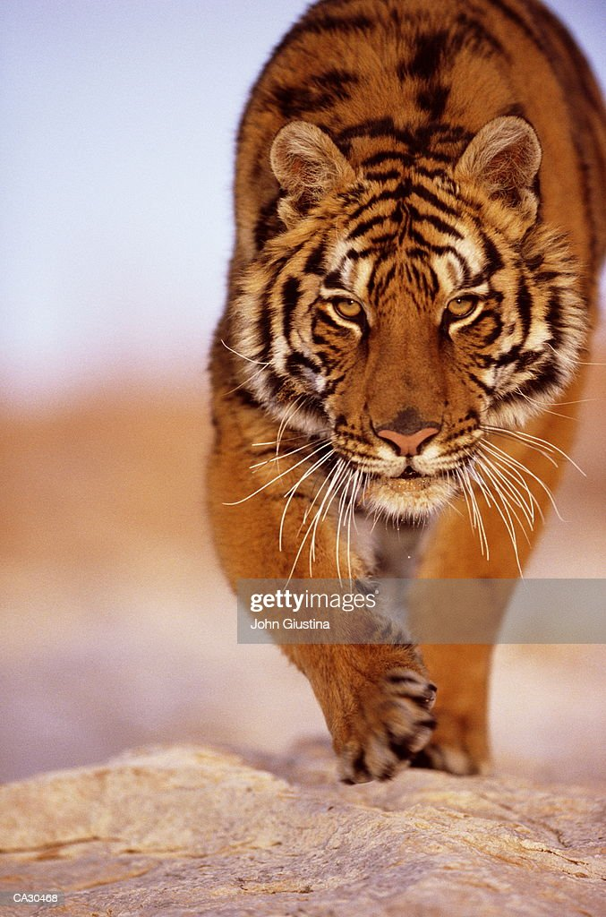 Bengal Tiger (panthera tigris), close-up : Stock Photo