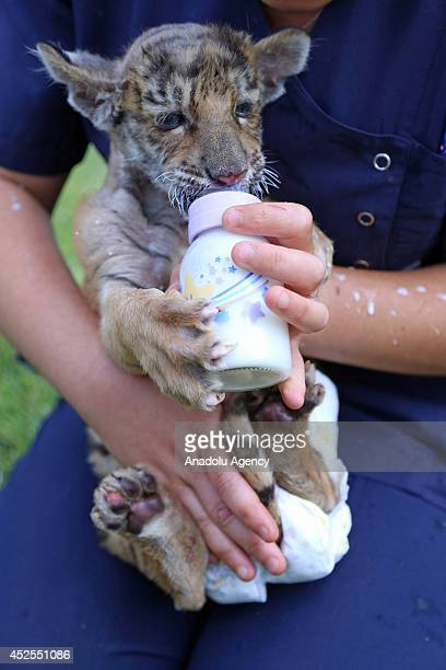 Bengal tiger cub whose mother gave birth and refused to feed him is fed with a bottle at Anatolian Wonderland zoo in Turkey's Kayseri province on...