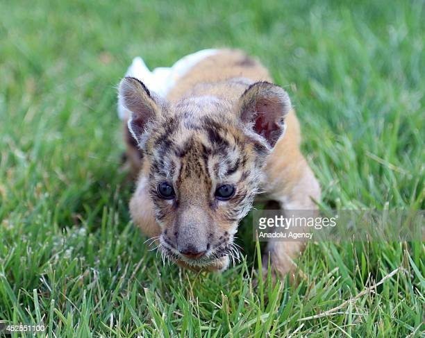 Bengal tiger cub whose mother gave birth and refused to feed him is seen at Anatolian Wonderland zoo in Turkey's Kayseri province on July 21 2014 The...