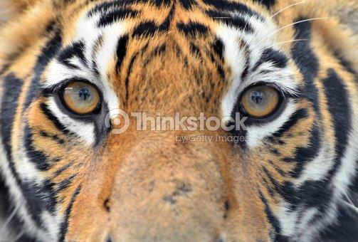 Tigre Du Bengale Yeux Photo