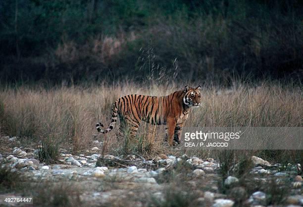 Bengal tiger Felidae Jim Corbett National Park Uttarakhand India