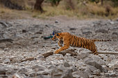 Tiger in the nature habitat. Bengal tiger hunting sambar deer. Action wildlife scene with danger animal. Hot summer in Rajasthan, India. Dry trees with beautiful indian tiger, Panthera tigris tigris