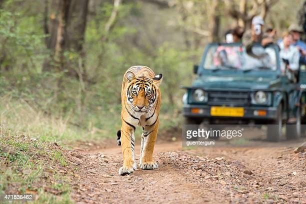 Bengal tiger (Panthera tigris tigris) in front of tourist car