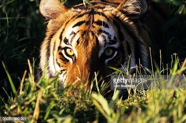 Bengal tiger (Panthera tigris tigris) in grass, headshot