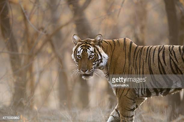 Bengal Tiger, India.