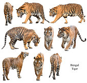 collection of  bengal tiger isolated  on white background