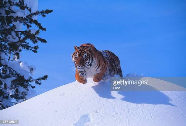 Bengal Tiger Jumping from Snowdrift