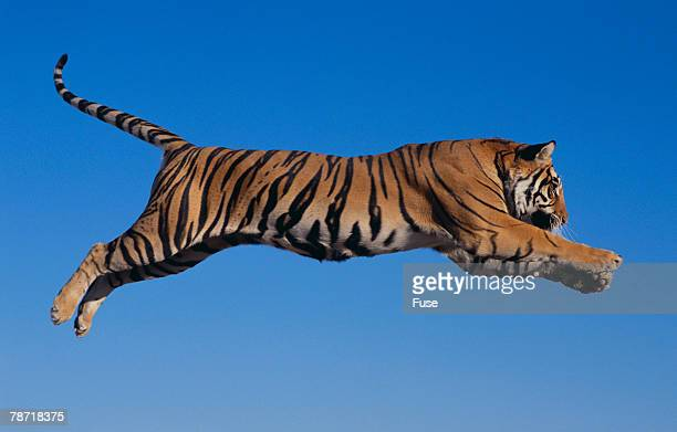 Bengal Tiger Jumping