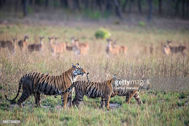 Bengal tiger mother with cubs watched by chital