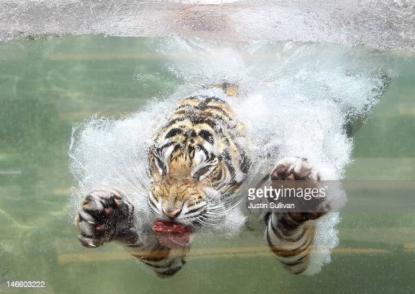 Bengal Tiger named Akasha dives into the water after a piece of meat at Six Flags Discovery Kingdom on June 20 2012 in Vallejo California On the...