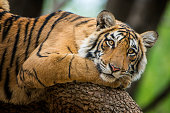 "A juvenile Bengal tiger (also called ""Royal Tiger"", Panthera tigris tigris) is resting on a tree. The Bengal Tiger is critical endangered, the total population was estimated in 2011 at fewer than 2,50"