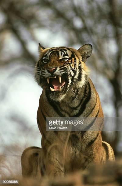 bengal tiger, panthera tigris, male snarling, ranthambhore, india