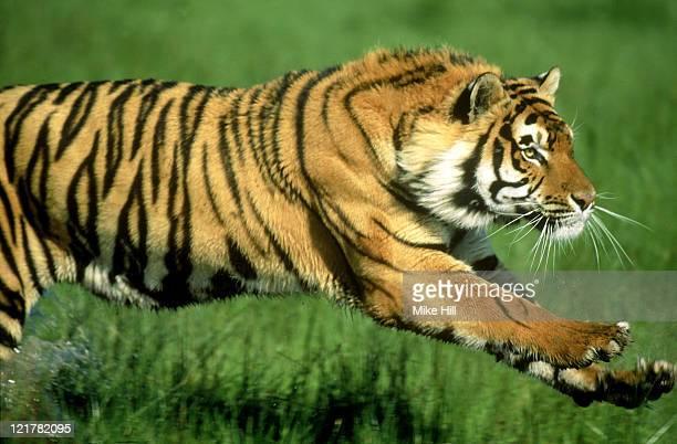 bengal tiger, panthera tigris