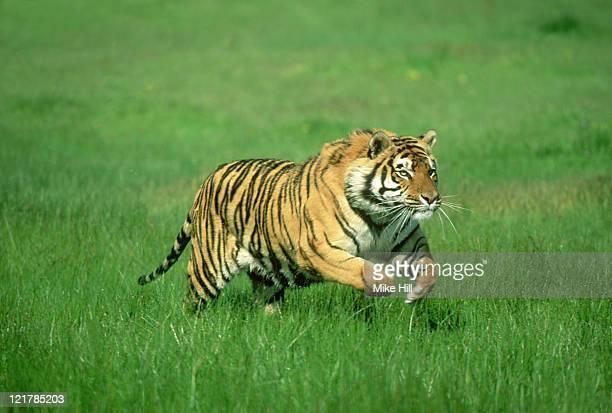 bengal tiger: panthera tigris  running (wildlife model)  u.s .a