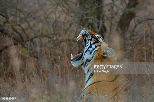 Bengal Tiger -Panthera tigris tigris- yawning in the dry forests of Ranthambore Tiger Reserve, India