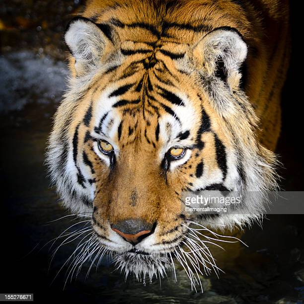 bengal tiger full hd images