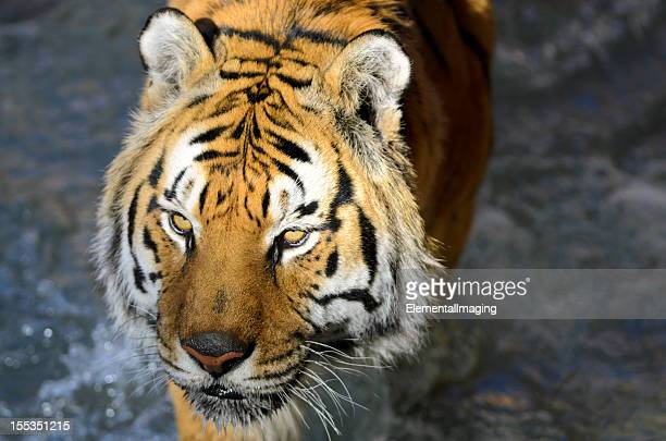 Bengal Tiger (Panthera tigris tigris) Portrait