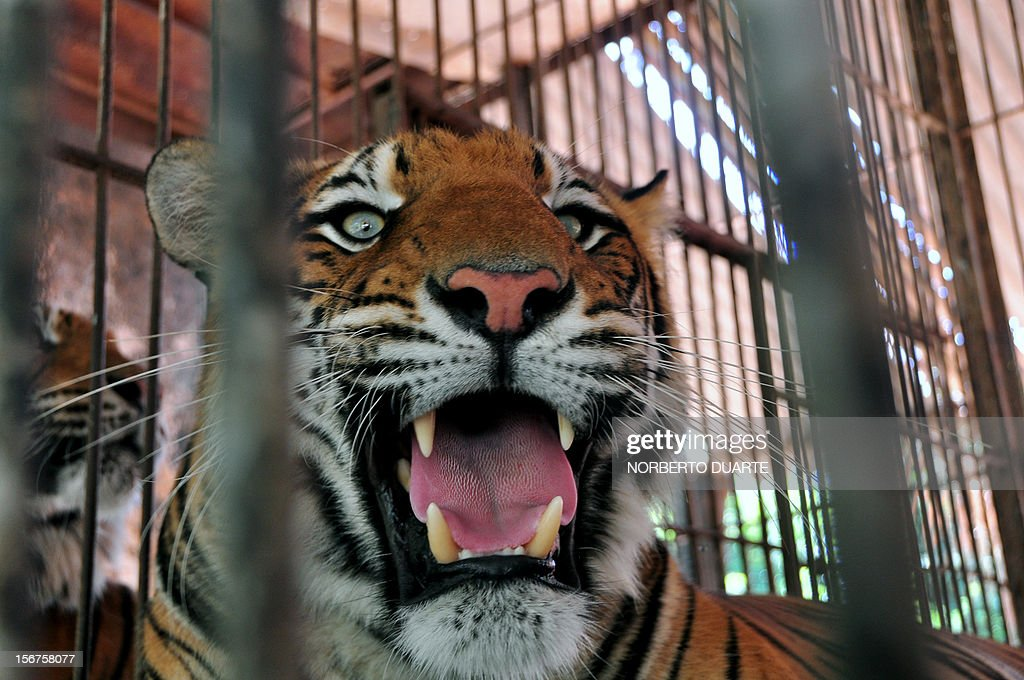 A Bengal tiger remains in its cage at the zoo in Asuncion, on November 20, 2012. The zoo, allegedly overcrowded in some areas and with irregular food supply and lacking an environment license, is being inspected by the Department of the Environment (SEAM) for 'violating environmental laws'. AFP PHOTO/ Norberto Duarte