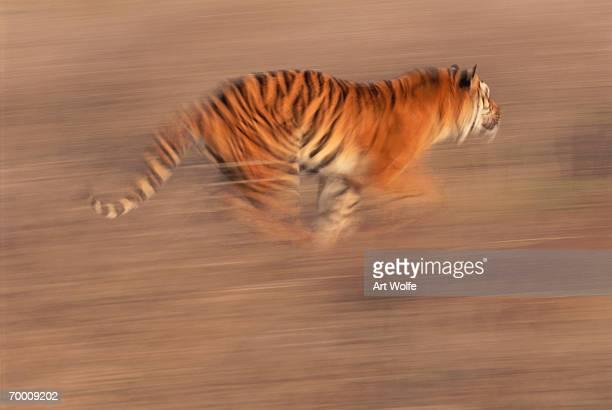 Bengal tiger (Panthera tigris) running across open area, India