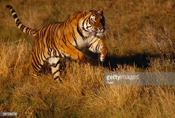 Bengal Tiger Running in Field