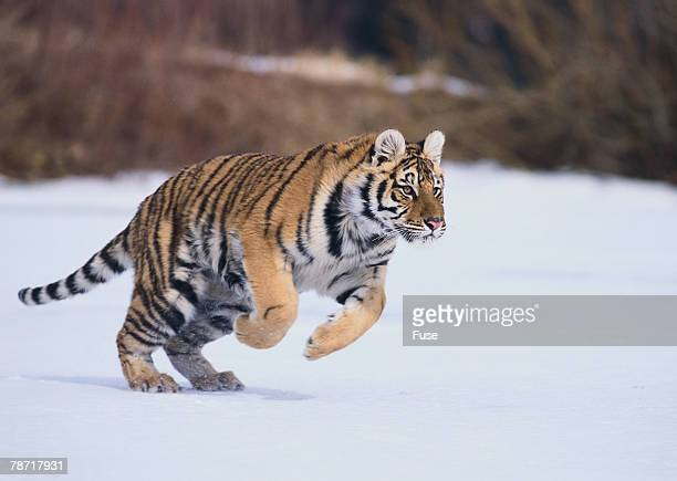 Bengal Tiger Running in Snow