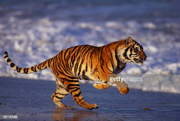 Bengal Tiger Running on Beach
