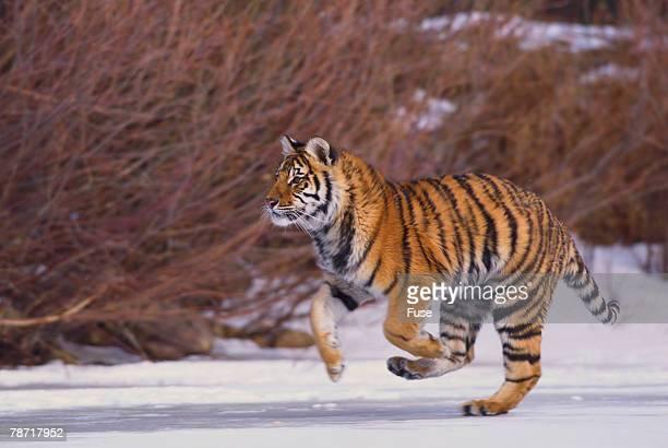 Bengal Tiger Running on Frozen Lake