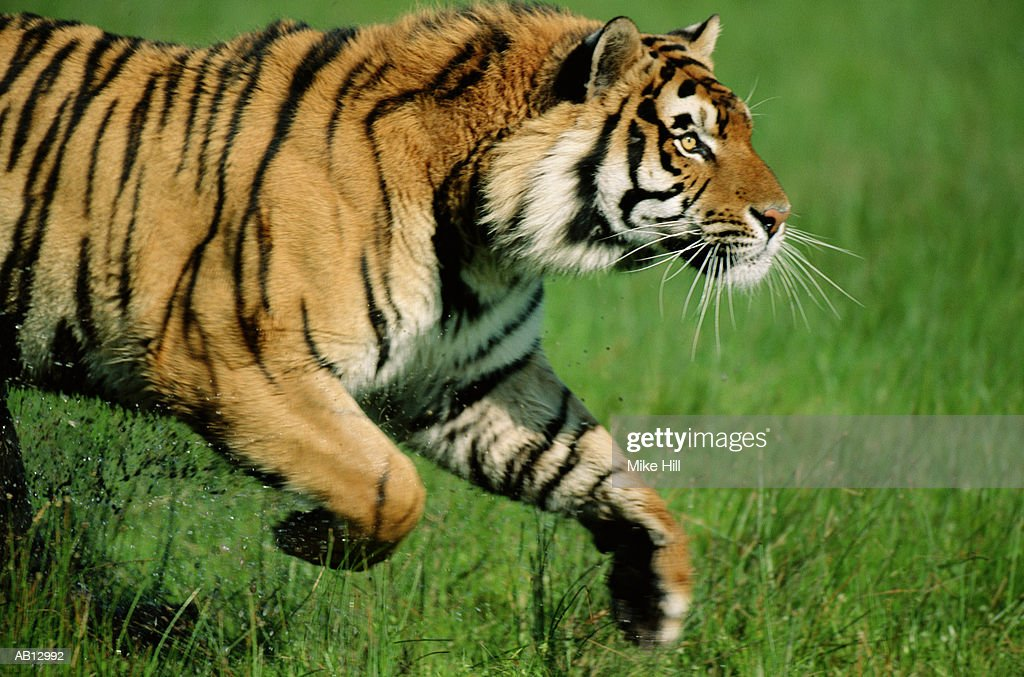 Bengal tiger (Panthera tigiris) running, profile : Stock Photo