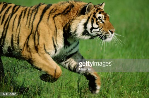 Bengal tiger (Panthera tigiris) running, profile : ストックフォト