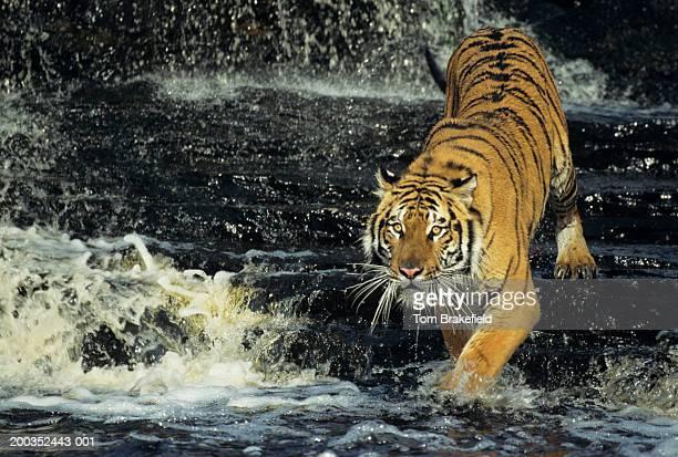 Bengal tiger (Panthera tigris tigris) running through water, India, Nepal
