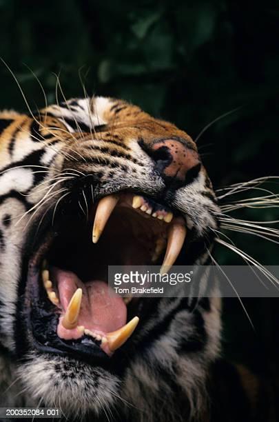 Bengal tiger (Panthera tigris tigris) snarling, headshot