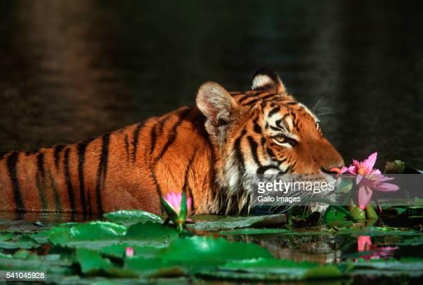 Bengal Tiger Swimming Among Lotuses