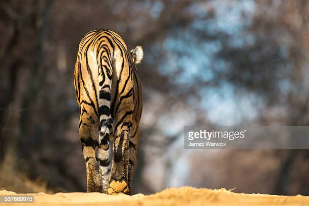 Bengal tiger walking along forest track
