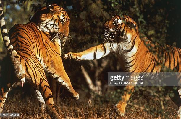 Bengal tigers Felidae aggressiveness after mating