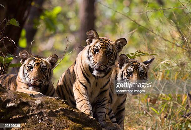 Bengal Tigers in Bandhavgarh NP, India