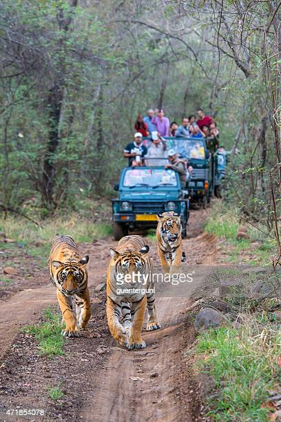Bengal tigers (Panthera tigris tigris) in front of tourist car