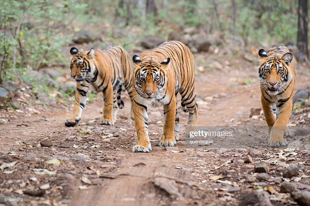 Bengal tigers (Panthera tigris tigris) in Ranthambhore National Park : Stock Photo