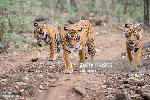 Bengal tigers (Panthera tigris tigris) in Ranthambhore National Park