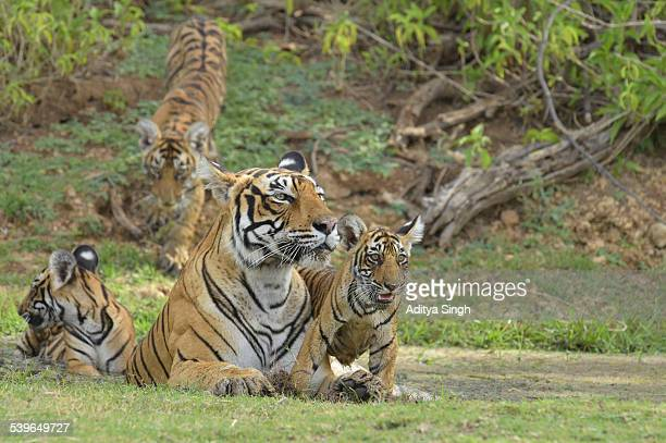 Bengal Tigers -Panthera tigris tigris-, female with cubs at a waterhole, Ranthambore Tiger Reserve, India