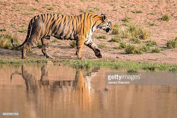 Bengal tigress walking along edge of pool