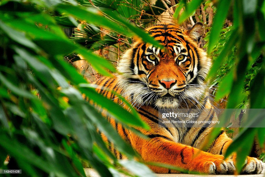 Bengala tiger : Stock Photo