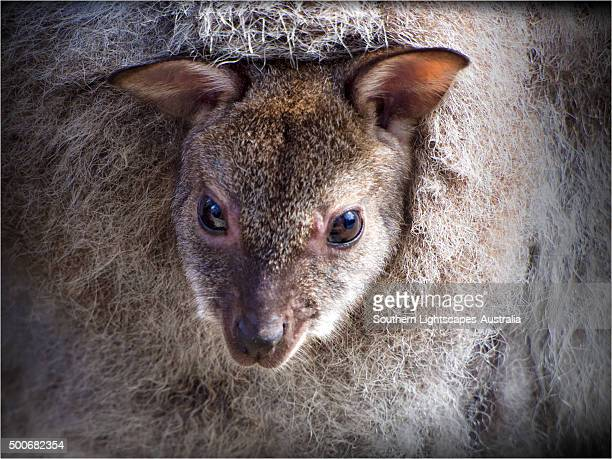 Bennett's Wallaby, Joey looking out of the pouch, Flinders Island, Bass Strait, Tasmania.