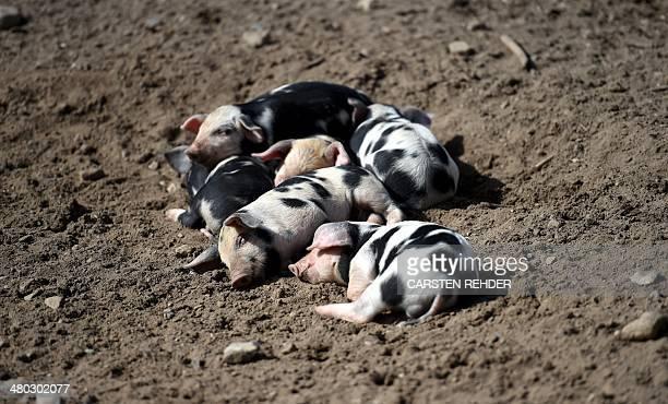 Bentheim Black Pied piglets sleep in an enclosure of the Tierpark Arche Warder animal park on March 24 2014 in Warder northwestern Germany Bentheim...