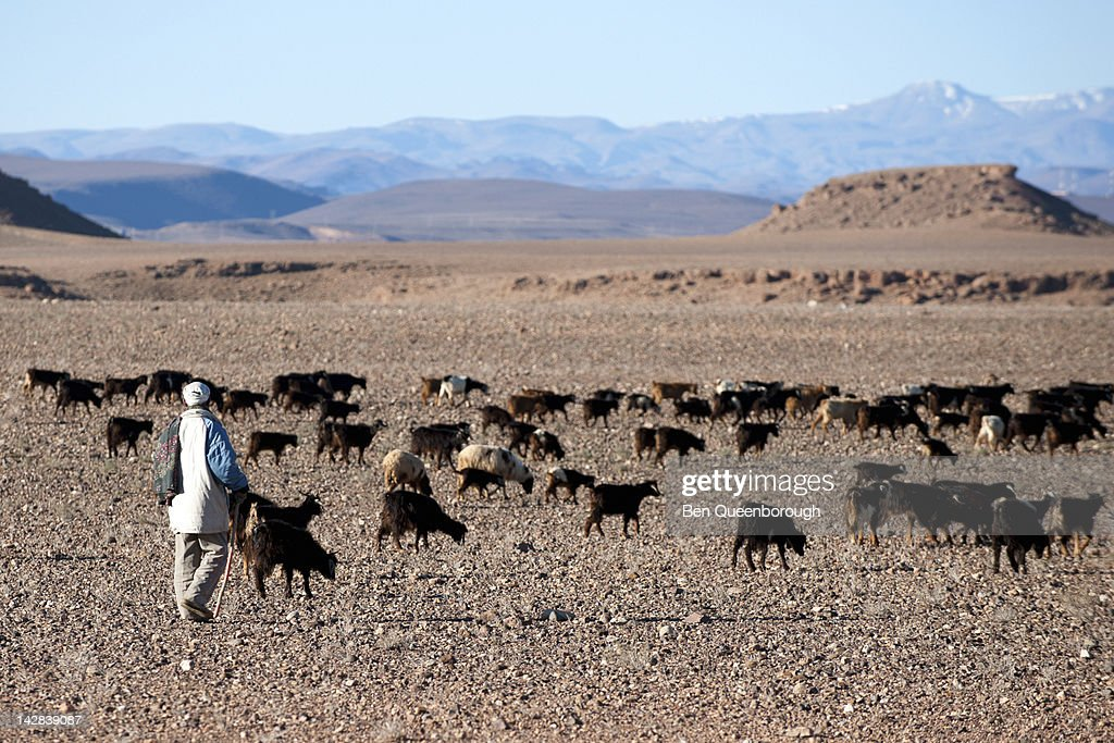 A berber farmer & his tribe of goats in the desert : Stock Photo