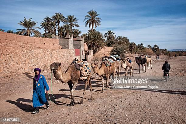 Berber man leading his camels dromedaries caravan on the streets