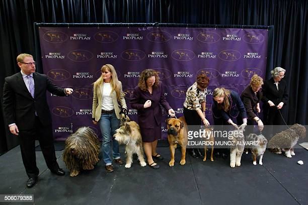 Bergamasco Berger Picard Boerboel Cirneco dellEtna Lagotto Romagnolo Miniature American Shepherd and Spanish Water Dog pose for a picture during the...